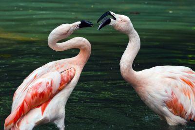 flamingos-578311_400